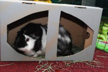 Shoe-Box-Guinea-Pig-Toy