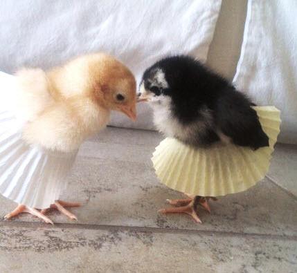 Cupcake Wrapper Chick Tutu Petdiys Com