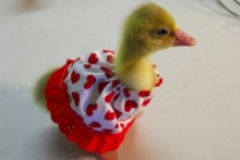 DIY-Gosling-Valentines-Day-Dress