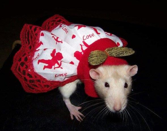 Diy Rat Cupid Dress Petdiys Com