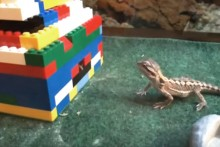 Lego-Bearded-Dragon-Feeder