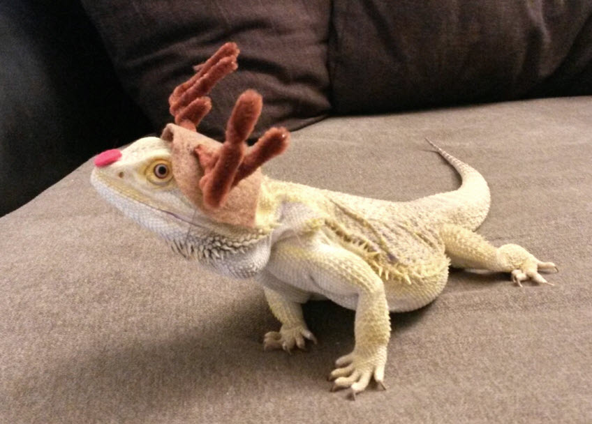 & DIY Bearded Dragon Rudolph Costume - petdiys.com