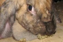 Applesauce-Pellet-Rabbit-Treats
