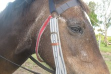 Belt-Horse-Bridle