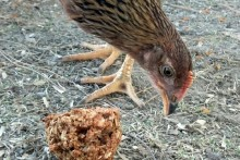 Cornmeal-Chicken-Treat