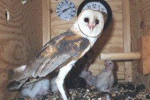 DIY-Barn-Owl-Nest-Box-Study