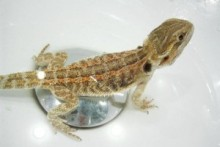 DIY-Bearded-Dragon-Bath