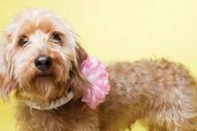 DIY-Dog-Collar-Blooms