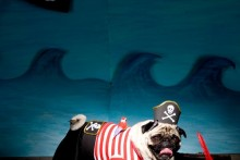DIY-Dog-Pirate-Costume