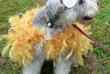 DIY-Dog-Rooster-Costume