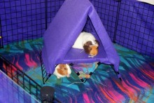 DIY-Guinea-Pig-Loft-Tent