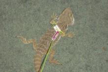 DIY-Lizard-Leash