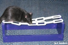 DIY-Rat-Agility-Chain-Walk