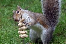 DIY-Squirrel-Peanut-Treat