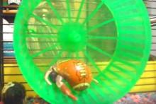 Hamster-Wheel-Crab-Exercise