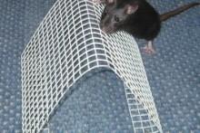 Mesh-Rat-Agility-A-Frame