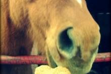 Oatmeal-Pear-Horse-Treats