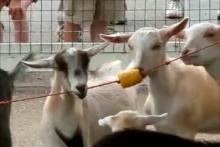 String-Goat-Toy