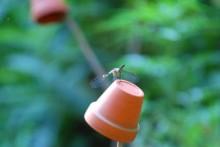 Flowerpot-Dragonfly-Perch