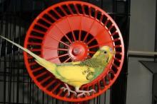Hamster-Wheel-Bird-Treadmill