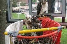Basketball-Hoop-Hawk-Nest