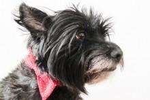DIY-Dog-Bow-Tie-Collar
