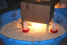 Kiddie-Pool-Chick-Brooder