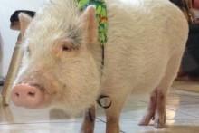 DIY-Pig-Bandanna