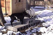 Cinder-Block-Goat-Platform