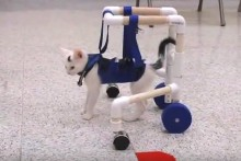 DIY-Cat-Physical-Therapy-Walker