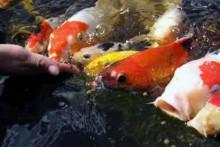DIY-Hand-Feeding-Fish-Training