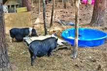 DIY-Pig-Pool