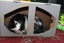 Shoe-Box-Guinea-Pig-Toy
