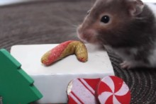 Baby-Food-Hamster-Candy-Cane