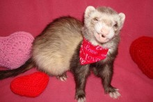 DIY-Ferret-Collar-Bandanna