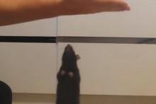 DIY-Rat-Hand-Jump-Training