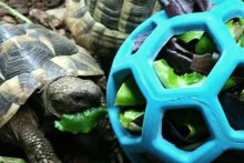 Hol-ee-Roller-Tortoise-Foraging-Toy