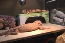 Tissue-Box-Lizard-Hide